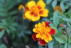 与黄色花的美好的红色 免版税库存照片