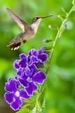 与紫色花的蜂鸟在绿色背景 库存图片