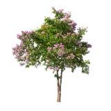 与紫色花的被隔绝的树在白色背景 免版税库存照片