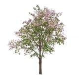 与紫色花的被隔绝的树在白色背景 免版税图库摄影