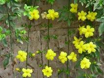 与黄色花的迎春花 免版税库存照片