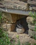 与黄色花的逗人喜爱的野生小兔在阿兹台克废墟 库存照片