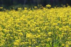 与黄色花的领域 免版税库存图片