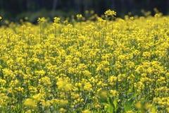 与黄色花的领域 免版税库存照片