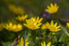 与黄色花的风景在背景中 库存照片