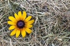 与黄色花的黄色秸杆干草 图库摄影