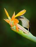 与黄色花的绿色蜂鸟,吮花蜜 有斑点的蜂鸟, Adelomyia melanogenys,在哥伦比亚回归线的蜂鸟 免版税库存照片