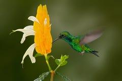 与黄色花的绿色蜂鸟 西部绿宝石, Chlorostilbon melanorhynchus,蜂鸟在哥伦比亚热带森林里, bl 免版税库存照片