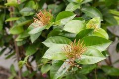 与黄色花的.leaf绿色在泰国的庭院里。 库存图片