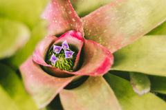 与紫色花的Bromeliad 免版税库存图片