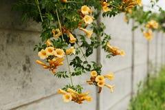 与黄色花的Campsis radicans flavus在灰色篱芭 Sel 免版税库存照片