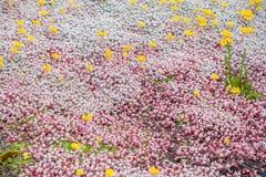 与黄色花的Groundcover 免版税图库摄影