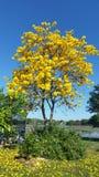 与黄色花的Tabebuia树 免版税库存照片