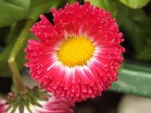 与黄色花粉的一朵红色花 免版税图库摄影