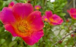 与黄色花粉的桃红色红色花特写镜头 库存照片