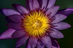 与黄色花粉的紫罗兰色莲花 免版税图库摄影