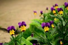 与黄色花粉的紫色和黄色镶边蝴蝶花 免版税库存图片