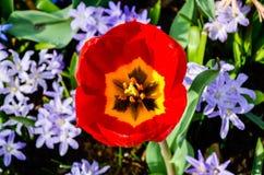 与黄色花粉, Keukenhof的开花的红色花 库存图片