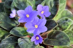 与紫色花绽放的生长紫罗兰 图库摄影