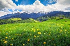 与黄色蒲公英的领域的惊人的春天风景开花 图库摄影