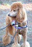 与紫色走的鞔具的红色标准长卷毛狗 免版税库存照片