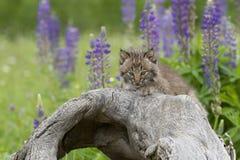 与紫色野花的美洲野猫小猫在背景中 免版税库存图片