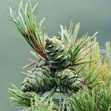 与绿色锥体的杉木分支 库存图片