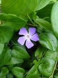 与紫色长春蔓的长春蔓藤 图库摄影