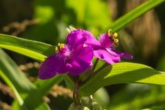 与黄色雄芯花蕊的绯红色紫鸭跖草安徒生 免版税库存图片