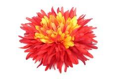 与黄色雏菊头的红色 图库摄影
