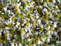 与绿色零件的春黄菊花 免版税库存图片