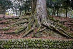 与绿色青苔的古老树在公园 图库摄影