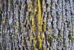 与绿色青苔的老木树皮纹理 图库摄影