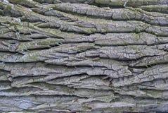 与绿色青苔的老木树皮纹理 免版税库存照片