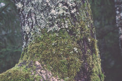 与绿色青苔的老树干和吠声-减速火箭的葡萄酒 免版税库存照片