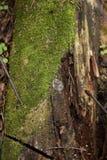 与绿色青苔的老树桩在春天森林自然本底中 免版税图库摄影