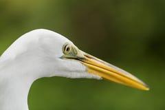与黄色额嘴的白色鸟 免版税库存照片