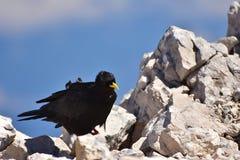 与黄色额嘴的黑鸟 免版税库存照片