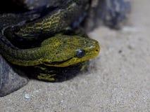 与绿色黄色的暗色镶边与质感粗糙的皮肤的危险蛇 免版税库存图片