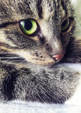 与绿色黄色眼睛的灰色猫 枪口的特写镜头 库存图片