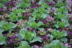 与紫色蝴蝶花的圆白菜 免版税库存照片