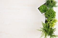 与绿色年轻针叶树植物的现代内部在米黄木委员会背景的白色箱子的有拷贝空间顶视图 免版税库存照片