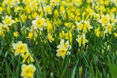 与黄色黄水仙, Narcissuses许多花的花床在草甸开花开花 现代背景,有选择性 库存照片