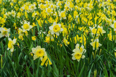 与黄色黄水仙, Narcissuses许多花的花床开花开花在春天 现代的背景 免版税库存照片