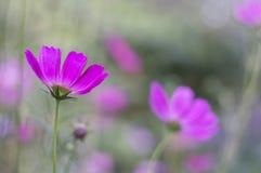 与紫色cosme花的花卉背景 与轻淡优美的色彩的精美花露天 有选择性的软的焦点 图库摄影