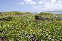 与紫色Pohuehue花的夏威夷海滩 免版税库存图片