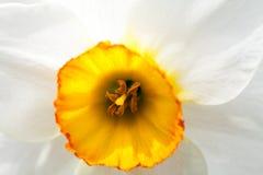 与细节的美丽的黄水仙 免版税库存照片