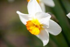 与细节的美丽的黄水仙 免版税库存图片
