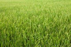 与绿草农业农厂背景纹理的米领域从泰国 库存照片