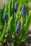 与绿草的春天蓝色花 背景 免版税库存照片